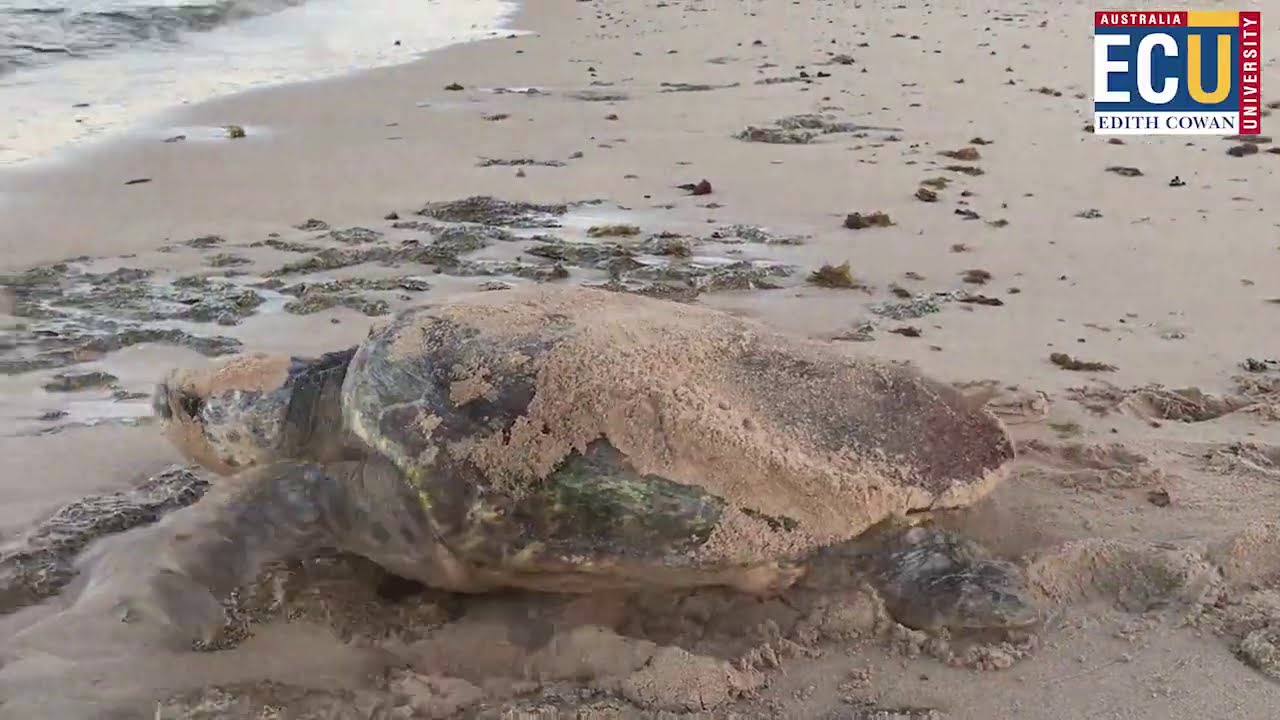 Research into predation of sea turtles by ghost crabs along the Ningaloo coast