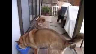 川上犬小太郎の実の母犬「凛」と姉犬「暖」。暖はこのところすっかりメ...