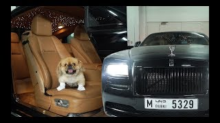 THIS DOG CAME IN A ROLLS ROYCE!
