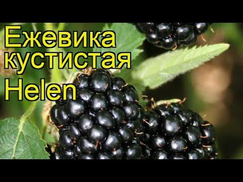 Ежевика кустистая Хелен. Краткий обзор, описание характеристик rubus fruticosus Helen