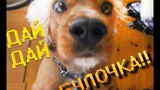 Английский кокер спаниель (собака говорит ДА!) |  English cocker spaniel