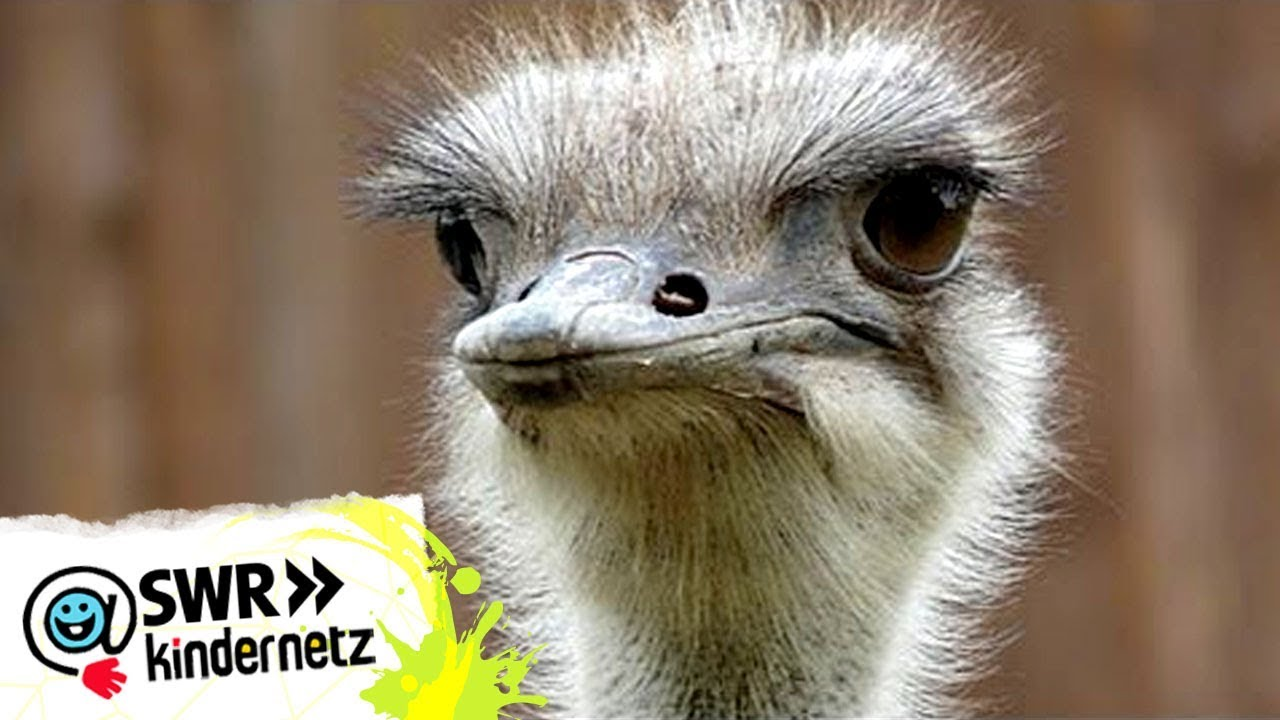 Der Vogelstrauß Bei Olis Wilde Welt Swr Kindernetz Youtube