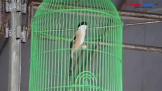 PENTET Sangkar Lovebird Main Satu Titik, Isian Melimpah