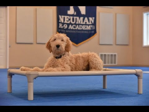 Lola (Australian Labradoodle) Puppy Camp Dog Training Video Demonstration