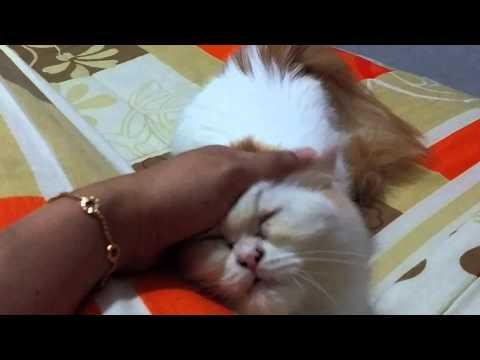 6 months old persian kitten in heat