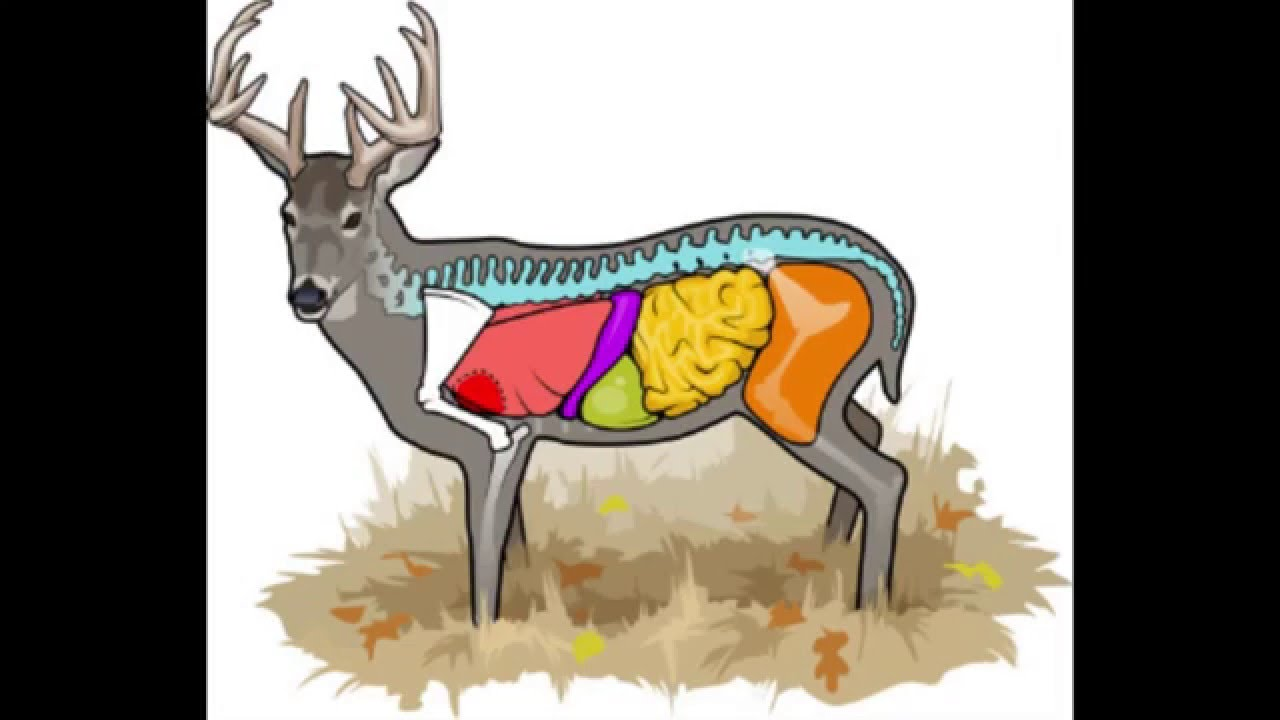 Deer Anatomy Where To Aim On A Deer Cabelas Deer Nation Youtube