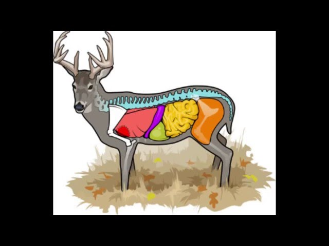 Deer Anatomy and Where to Aim on That Whitetail