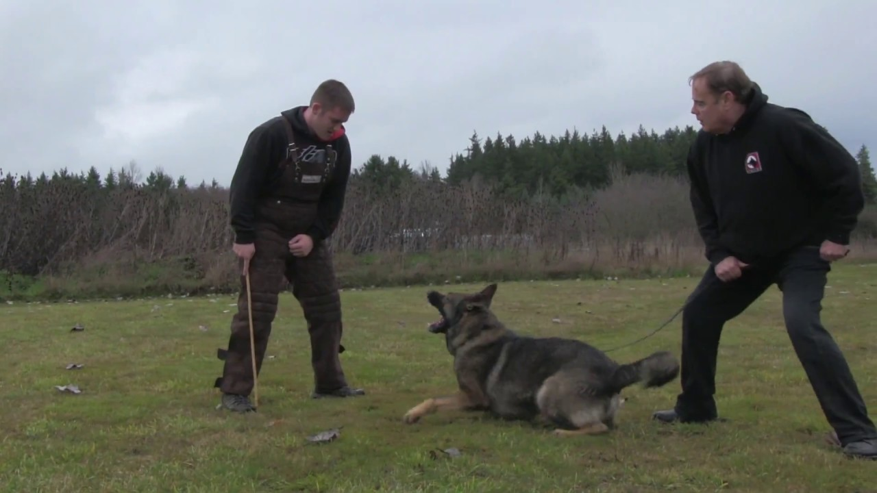 Kraftwerk K9 German Shepherd Practical Protection Training ...Kraftwerk K9