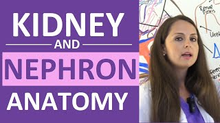 Kidney and Nephron Anatomy Structure Function | Renal Function System