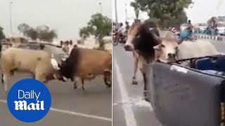 Bulls have a fight and end up getting trapped inside a tuk tuk
