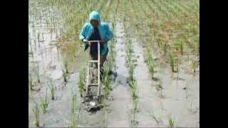 SRI Method of Cultivating Rice