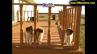 Collie, Puppies, For, Sale, In, Billings, Montana, MT, Missoula, Great  Falls, Bozeman