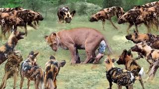 Big battle of Wild Dogs vs Lion - Hippo vs Crocodile vs Lion, Hyena & Wild dogs disputes  the prey