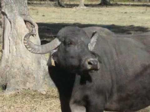 Water Buffalo at Home - Arkansas