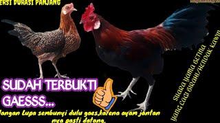 Download SUARA AYAM HUTAN BETINA UNTUK PANGGIL JANTAN.