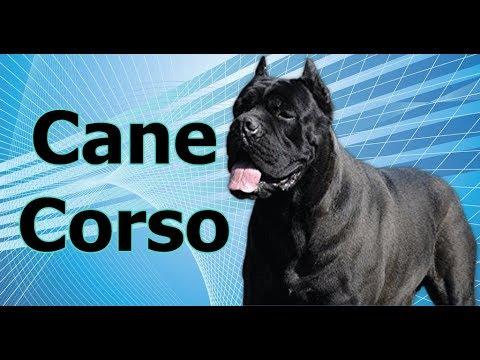 guia-de-raças-caninas---cane-corso