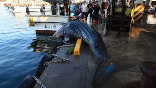 二度と引っかかるんじゃないよ!漁網にかかって水揚げされちゃったジンベイザメ、無事海に帰る