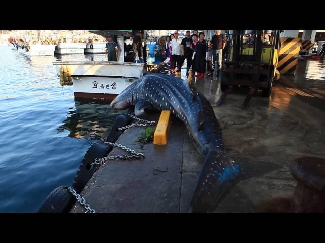 고래상어를 살려라