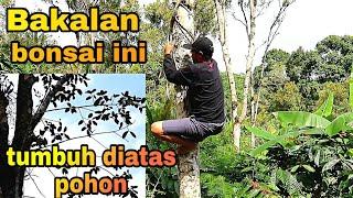 Explore Alam Pegunungan Untuk Mengenalkan Bahan Bonsai
