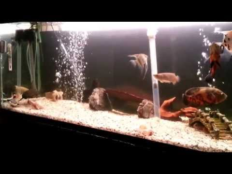 red tail catfish oscar and giant goldfish feeding gopro underwater footage from YouTube · High Definition · Duration:  6 minutes 37 seconds  · 328 views · uploaded on 4/30/2017 · uploaded by Bass n' Bonsai