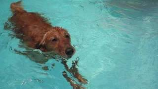 Golden Retriever Swimming In The Pool - Best Ever