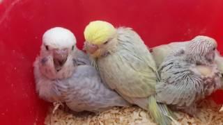 Определяем пол и окрас птенцов выставочного волнистого попугая