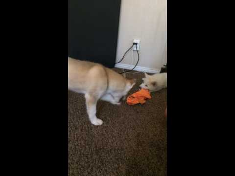 pups-playing---only-at-www.wolfhuskypups.com