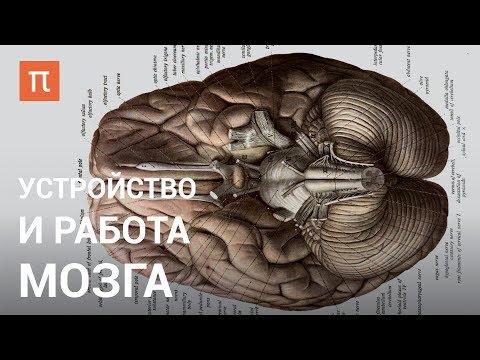 Устройство и работа мозга