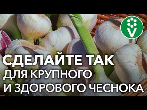 ПОСЛЕДНЯЯ ПОДКОРМКА ЧЕСНОКА для огромного урожая!