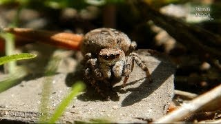 Gambar cover Jumping Spider (Sitticus Floricola) - Jumps and Close look - Animalia Kingdom Show