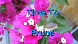Pruning Bougainvillea