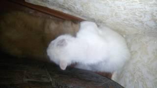 кошка альбинос и пекинес