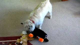 Leah, The Cairn Terrier, Opens Her Christmas Presents