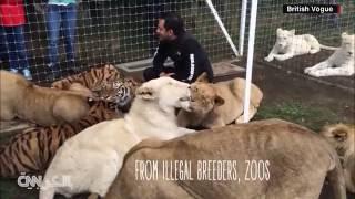 فيديو صادم يغزو الانترنت: نمر أسود يتسلل خلف رجل