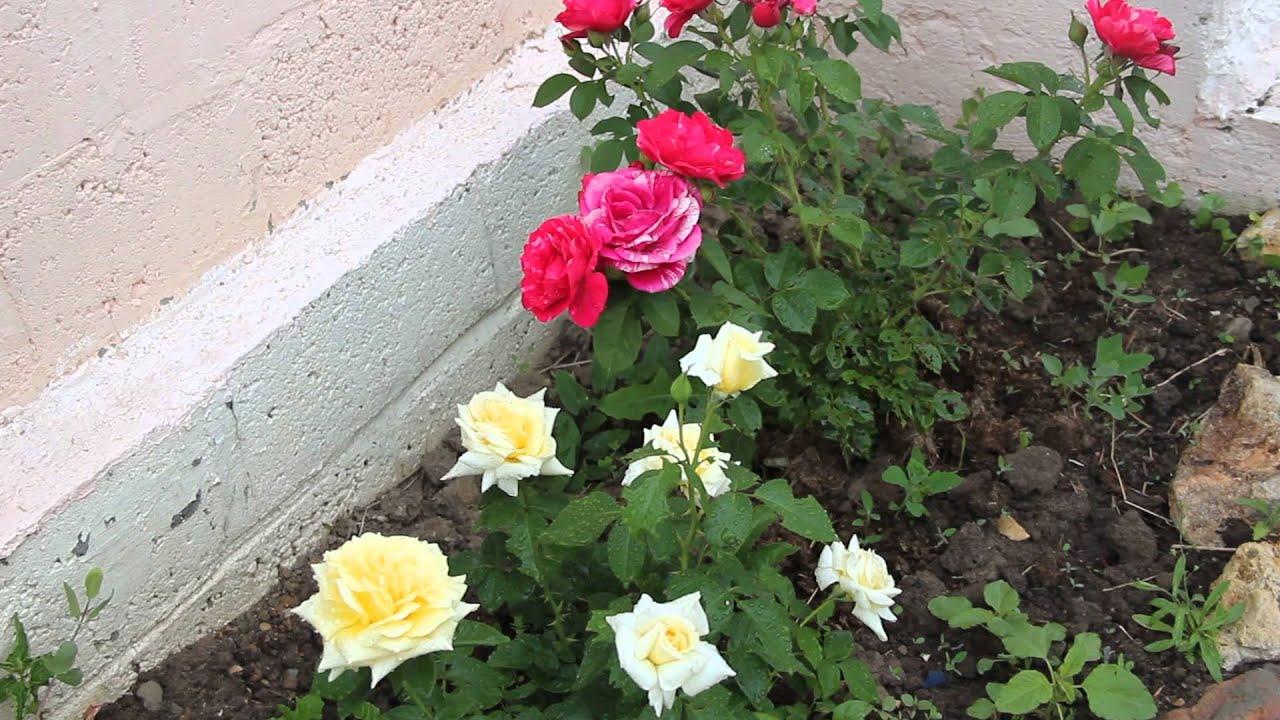 Как сохранить розы на зиму в саду