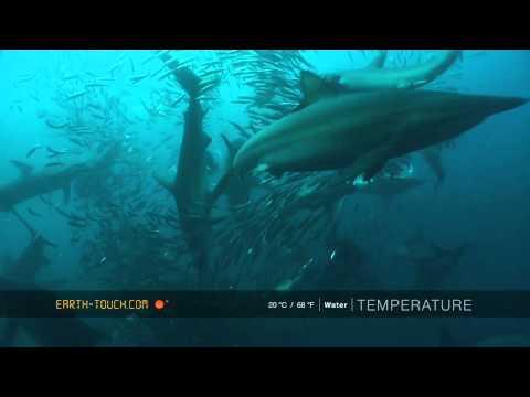 Mighty whale joins the Sardine Run feeding frenzy