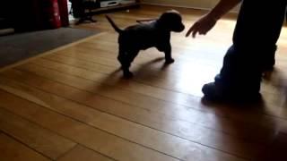 Training a Hyper Cocker Spaniel Puppy