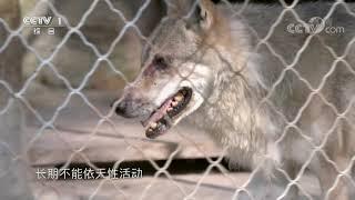 [正大综艺·动物来啦]为什么狼每次都让狗先进食| CCTV