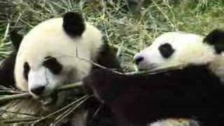 National Treasures: China's Giant Pandas