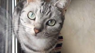 """突風に""""今の何?!""""と後ずさる猫 ~ 外の世界を知りたい!風を感じてみたい!  -Curious cat is scared thumbnail"""