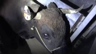 Les convois de la mort - Transport d'animaux à l'abattoir