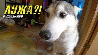 собака - обоссака. хаски просит прощения