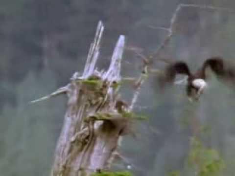 Как орлы учат летать своих птенцов видео