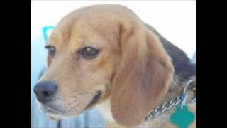 Beagles Rescued from Research Lab ***(Video by shelter volunteer Louise M. Denecke)