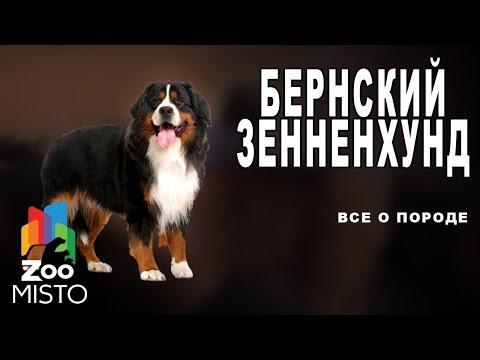 Бернский зенненхунд Все о породе собаки | Собака породы бернский зенненхунд