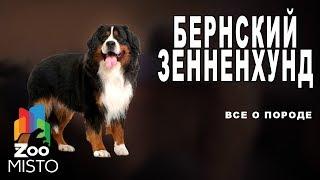 Бернский зенненхунд - Все о породе собаки | Собака породы  бернский зенненхунд