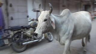 Священные коровы Индии