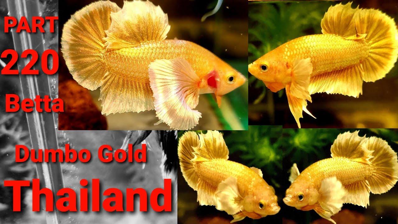 PART 220 Betta Thailand Dumbo Gold Pk F1