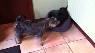 Miniature Schnauzer Puppy Meeting A Cat For The First Time.