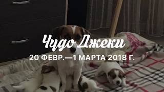 Джек Рассел Терьер Samara 05 02 2018